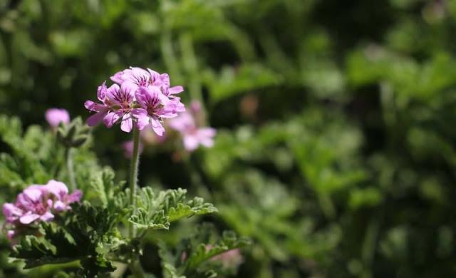 Pelargonium Graveolens Flowers Pictures