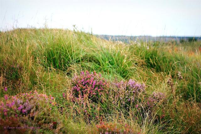 heather plants in the wild Connemara grasses