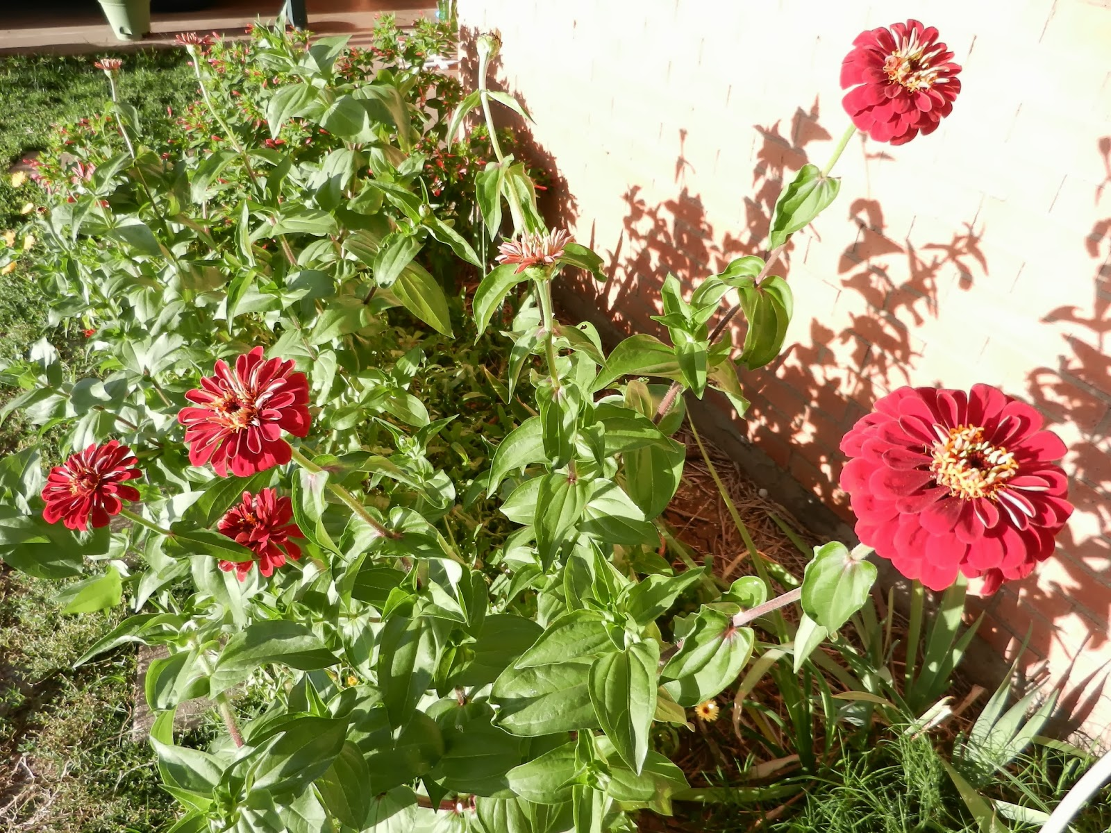 autumn zinnias pictures
