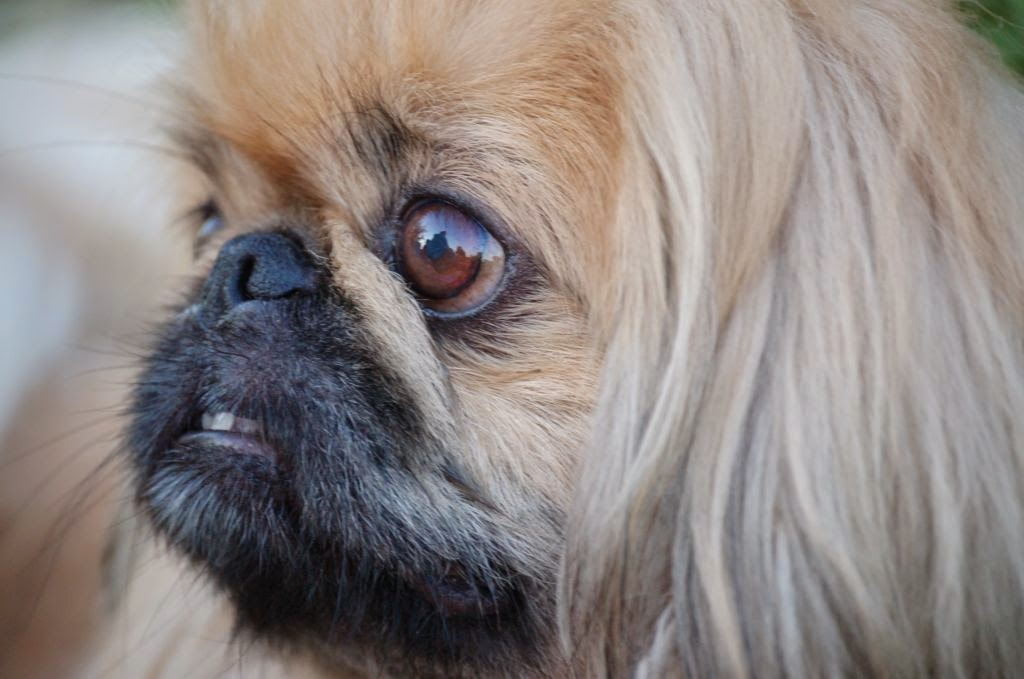 everything about your pekingese luv my dogs