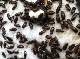 berternak semut jepang