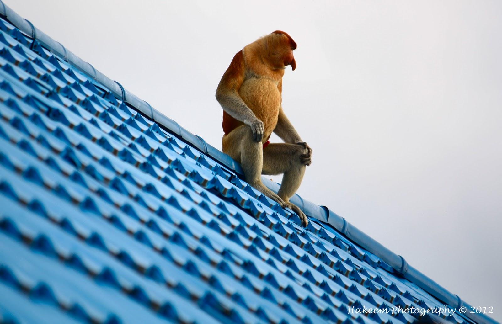 Probocis monkey | Bekantan | Nasalis larvatus