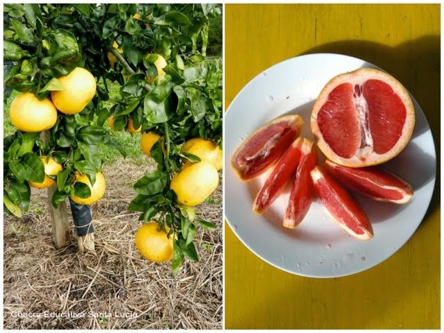 Pomelo y pomelo rosado - Chacra Educativa Santa Lucía