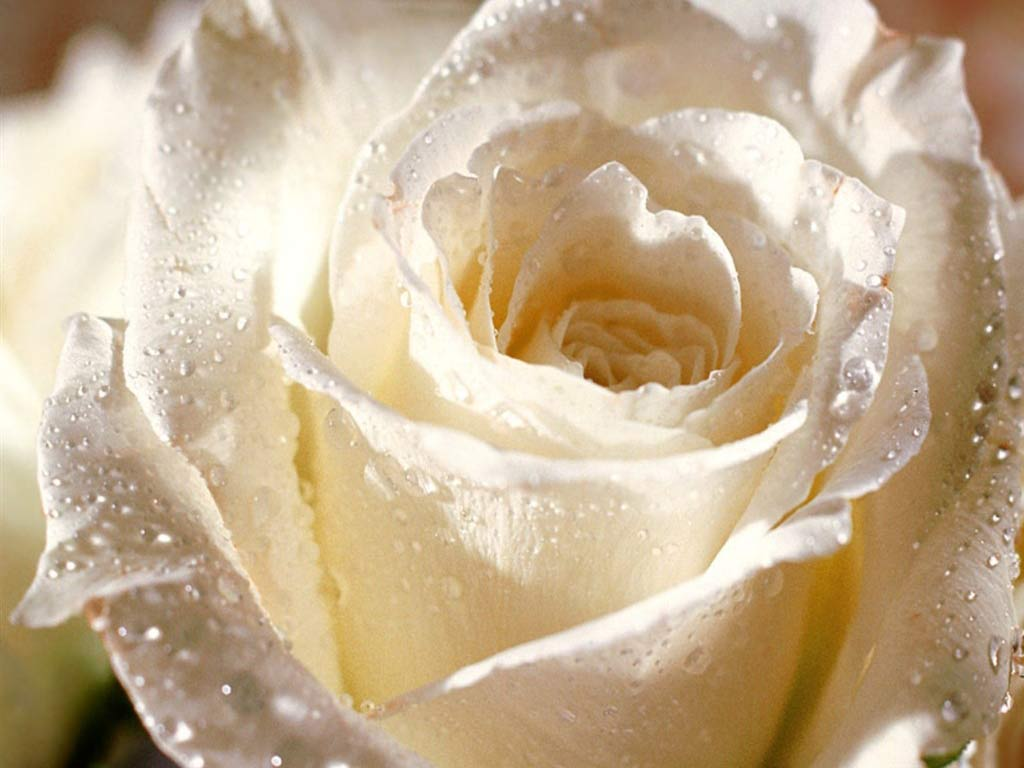 HD White Rose Wallpapers