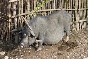A pig in Tả Phìn village, Sìn Hồ