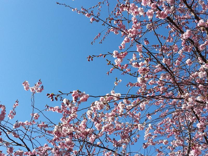 Körsbärsträd körsbärsblommor