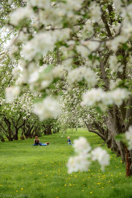 О жизни: Яблони в цвету фото
