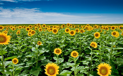 Sunflower Field and Blue Sky HD Wallpaper