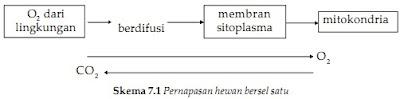 Sistem pernapasan pada hewan bersel satu (Protozoa)