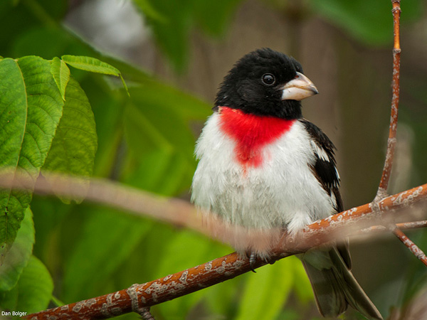 Bird With Red Throat 106