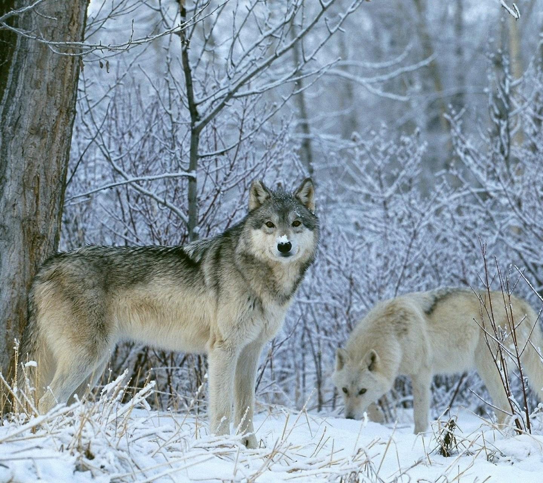 http://4.bp.blogspot.com/-9cBOsZVbJHU/UaK1O3uejpI/AAAAAAAARtY/h9Dz73DNDIA/s1600/-Animals-Wild-Animals-Wolves-Fresh-New-Hd-Wallpaper--.jpg