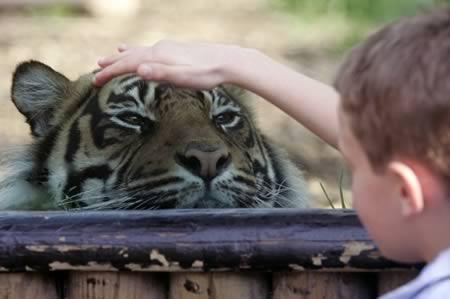 Mengelus Harimau