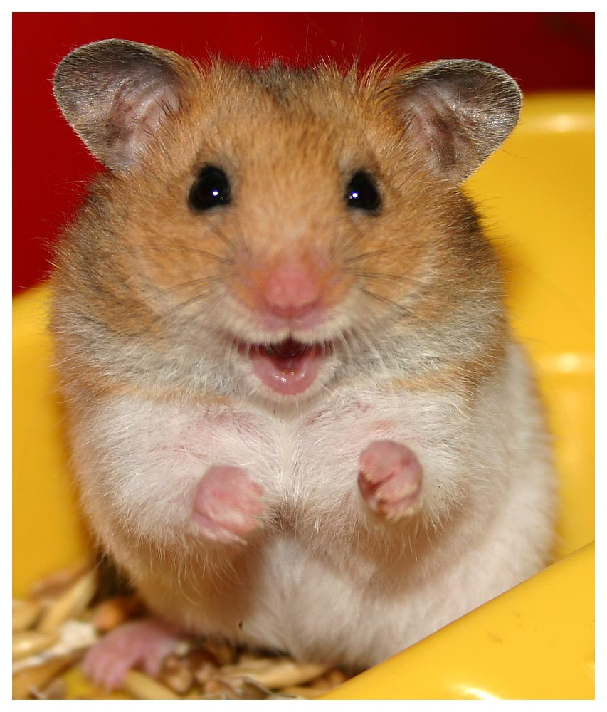 Information of Animal: Maintaining Hamster