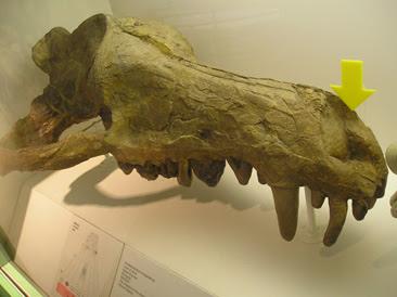 Andrewsarchus skull