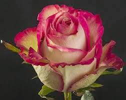 rosa ecuatoriana