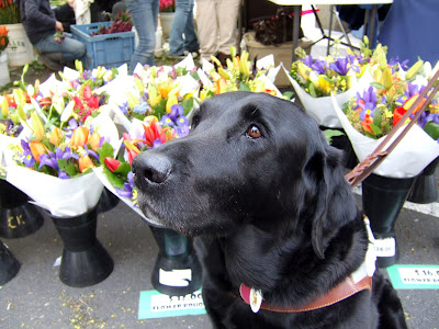 black Lab Jazzy near flowershop flowers