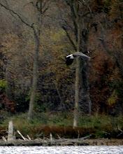 Boyer Lake Canada Goose