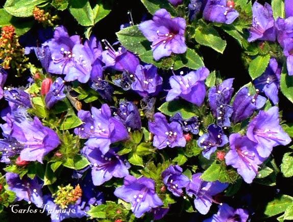 flora das berlengas