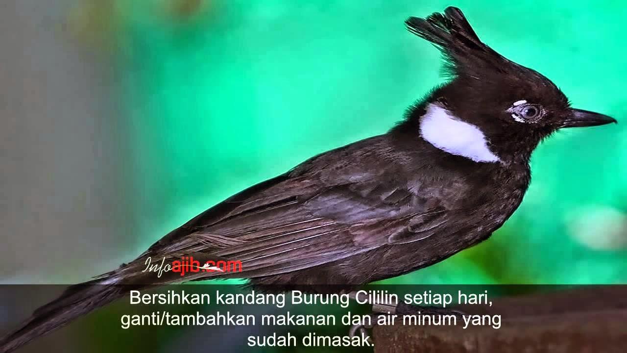 Foto Burung Kepodang Sumbawa Terbaik