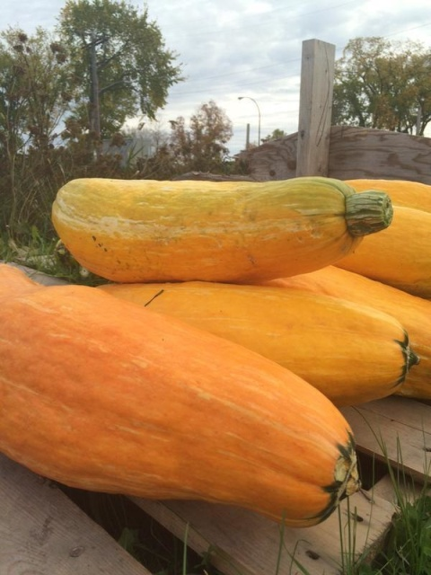 While not all of the seeds produced fruit, some grew this once-extinct squash.