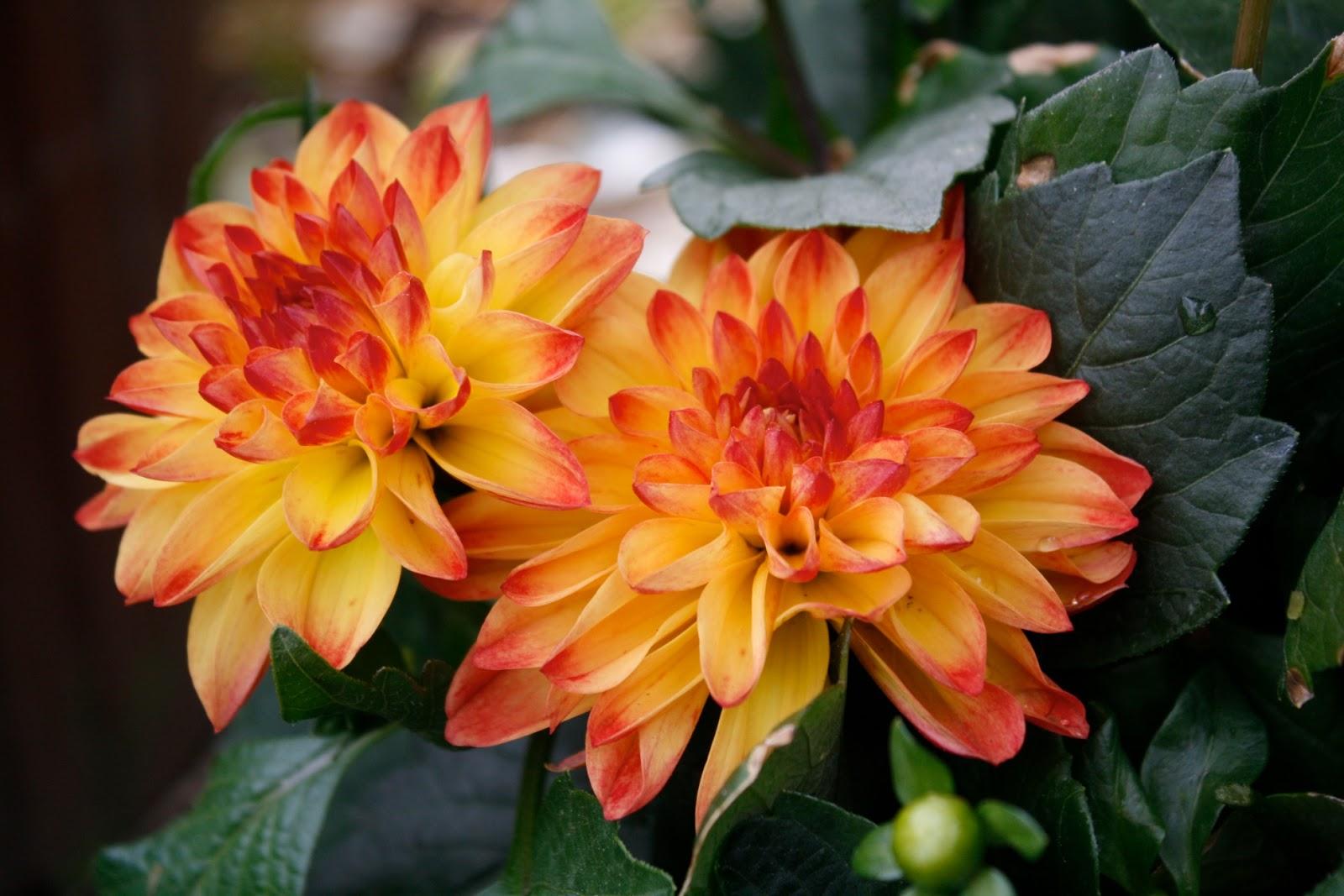 October birth flower robertottni october birth flower izmirmasajfo Gallery