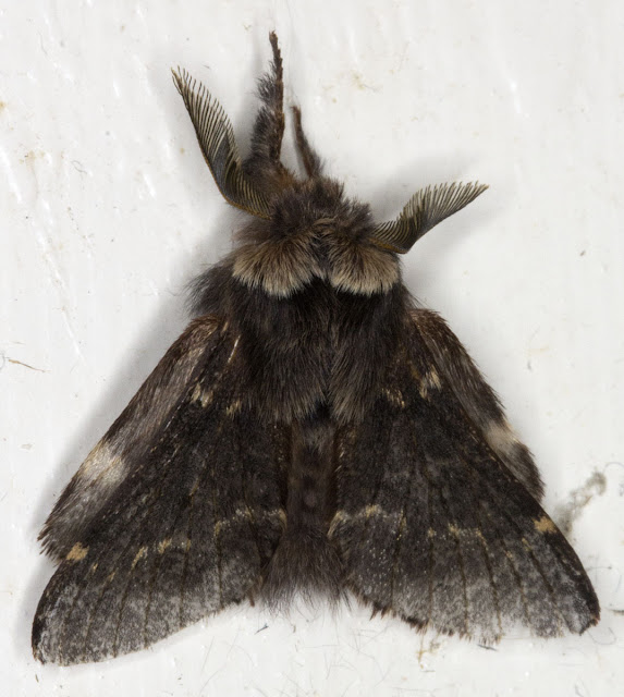 December Moth, Poecilocampa populi.  Dead.  Found resting on the inside of the back door to my garage on the evening of 5 January 2012.