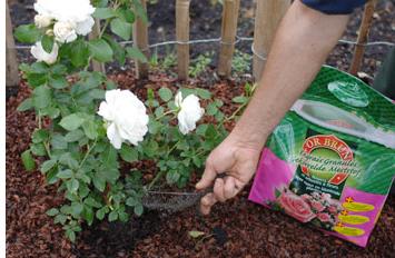 La passion des rosiers la p pini re fil roses mai - Rouille rosier traitement naturel ...