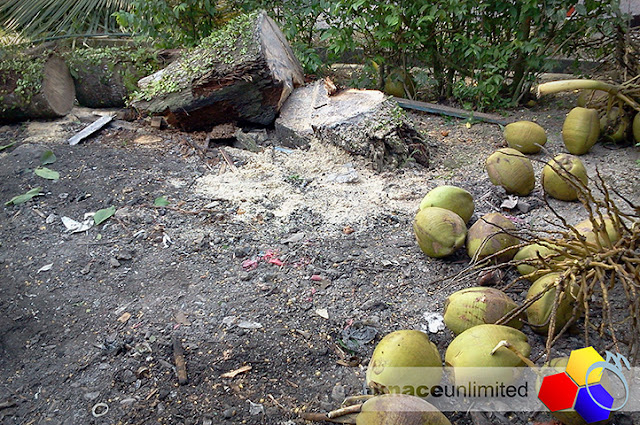 mknace unlimited | Tebang pokok kelapa