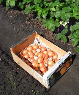 31.05. Остатки прошлогоднего урожая лука и чеснока