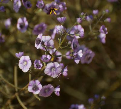 Tinsel Flower (Cyanostegia cf corifolia)