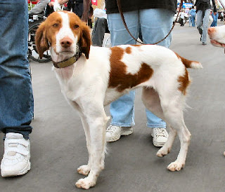 brittany spaniel dog hound canine pooch canis bow-wow despicable fellow qen txakurra gos pas hond koer aso koira kutya hundur madra pets huisdieren animaux de compagnie Haustiere de companie husdjur Evcil Hayvan anifeiliaid anwes domace zvali augintiniai alagang hayop domaci zvirata kucni ljubimci animals domestics maskotak
