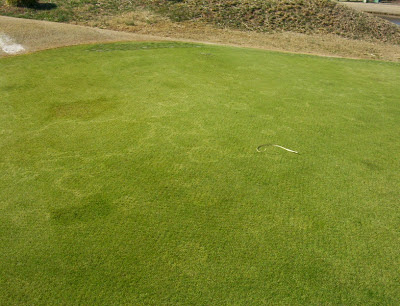 A field of creeping bentgrass affected by yellow patch