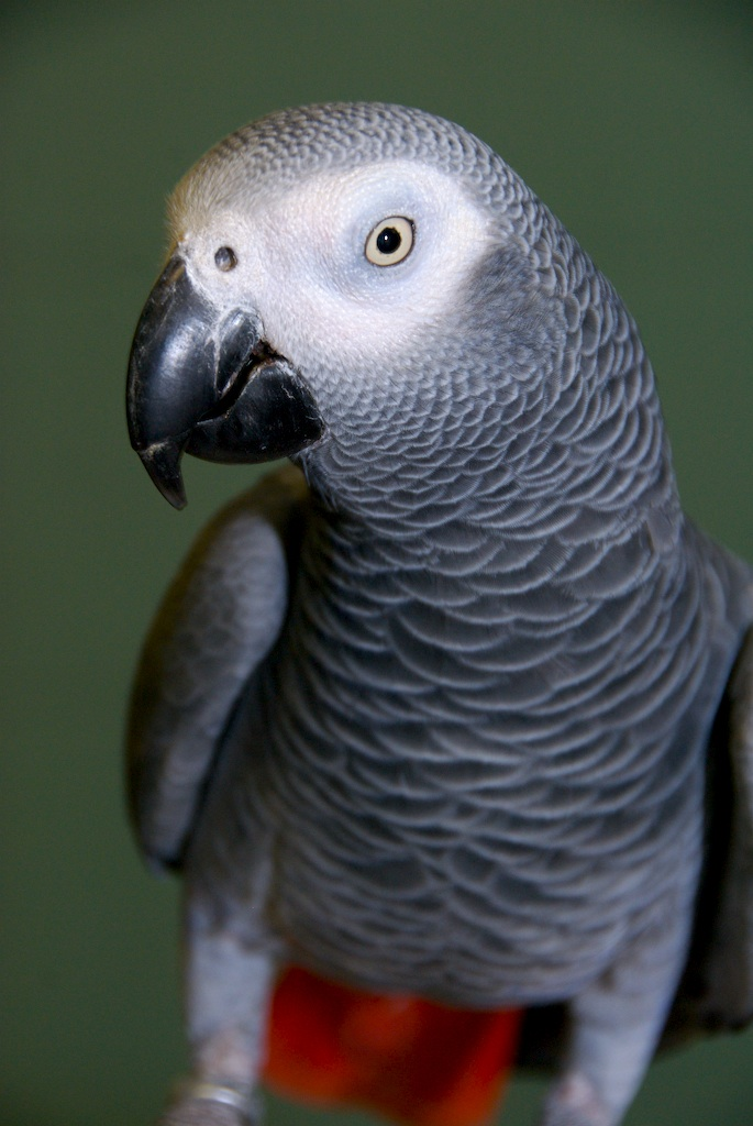 african grey parrot - photo #31