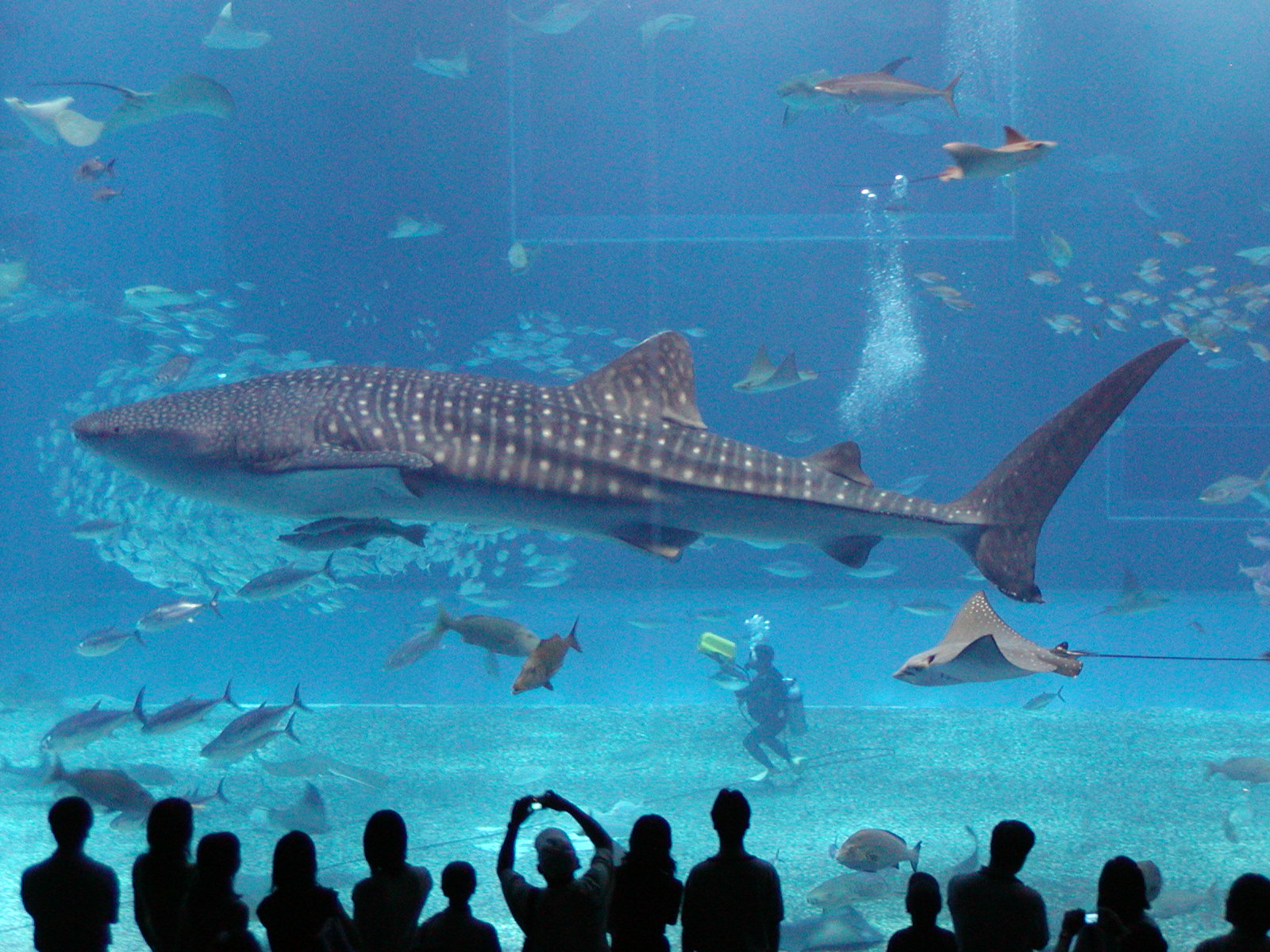 Naturalacts whale shark the worlds biggest fish for World of fishing