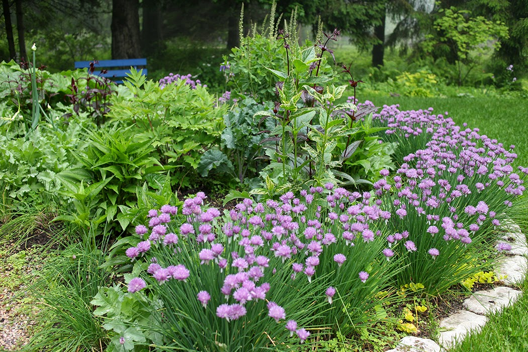 Chive hedge: The Impatient Gardener