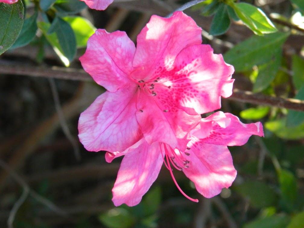 Pink azaleas Universal Studios Orlando by garden muses-not another Toronto garden blog