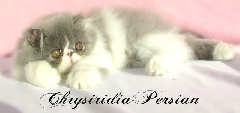 Criadero de Gatos persas y Exóticos