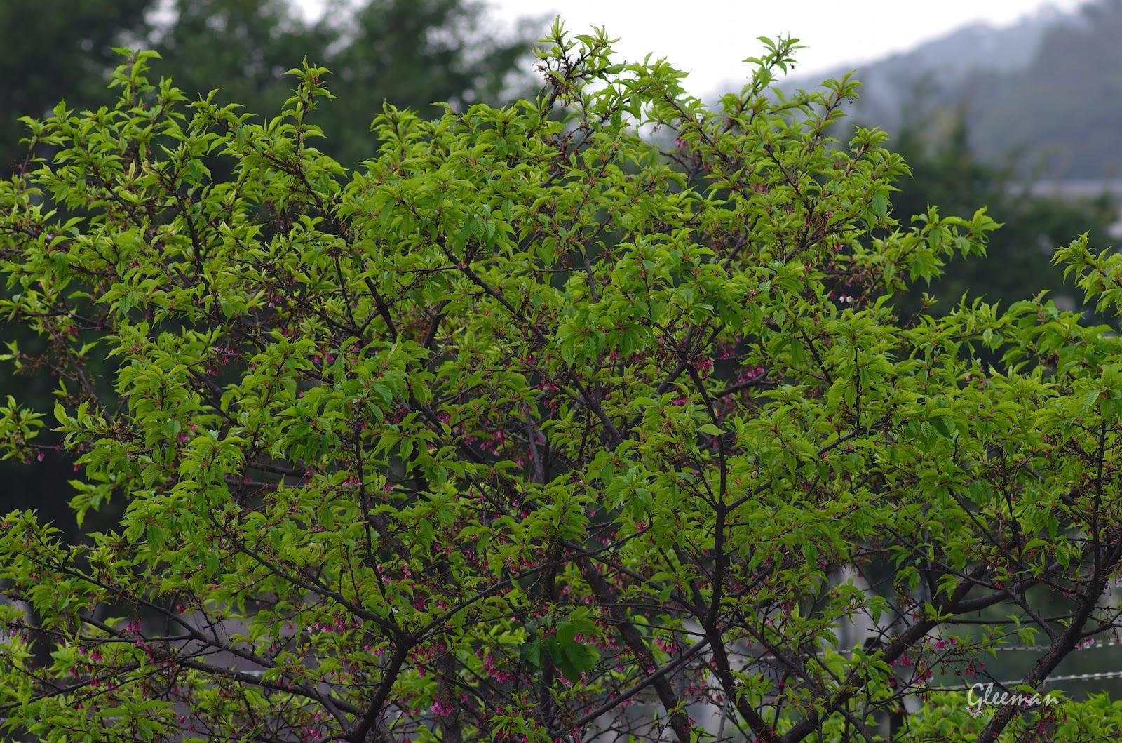 雞南山腳的櫻花,葉櫻