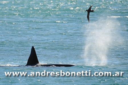Orcas - Killer Whales - Península Valdés - Patagonia - Andrés Bonetti