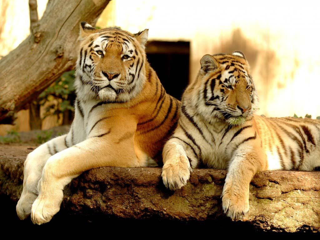 Tiger wallpapers ~ Allfreshwallpaper Cute Cheetah Cubs