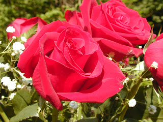 Perfect  Red Rose Flower Images
