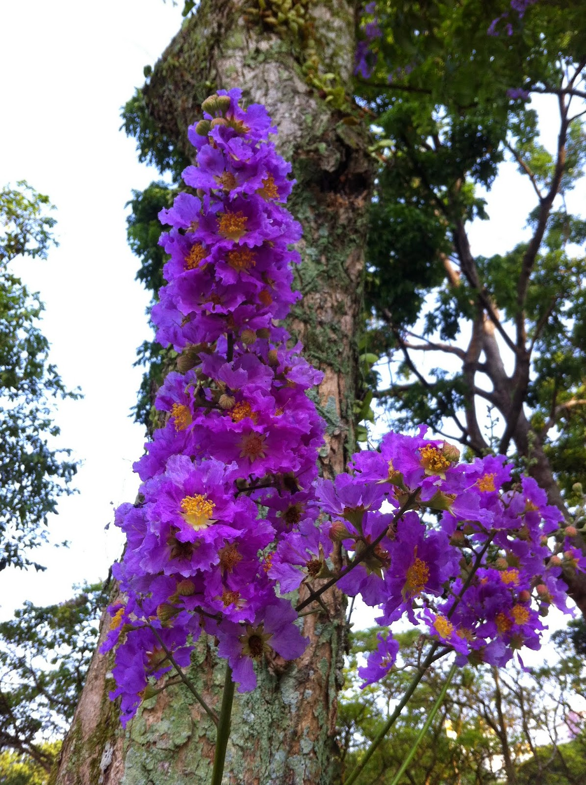 Singapore plants lover purple flowers tree in bishan park - Flowers that grow on tree trunks ...