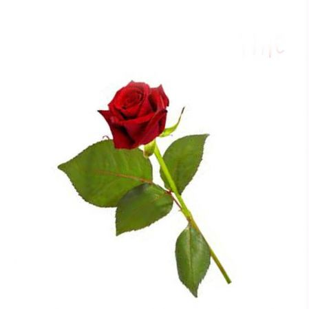 valentines day single rose - best rose 2017, Ideas