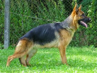 Giống chó Bécgiê Đức.