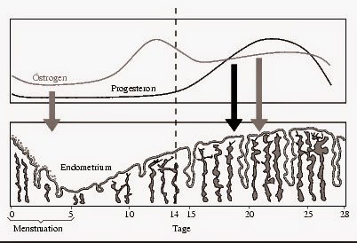 Encyclopedia of biology menstrual cycle menstrual cycle which are controlled by hormones secreted by pitutary gland and ovaries follicle stimulating hormone fsh and luteinizing hormone lh ccuart Gallery