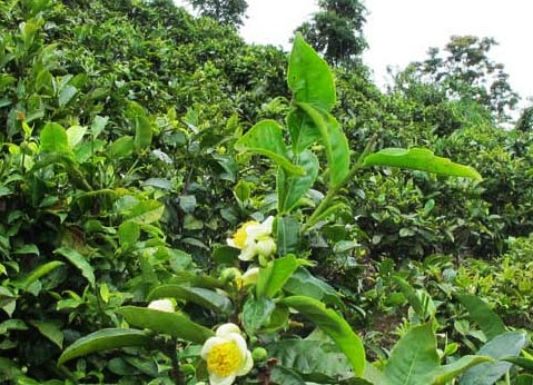 Lao tea bushes with yellow flower blossoms, Photo Credit:  Lao Forest Tea Project