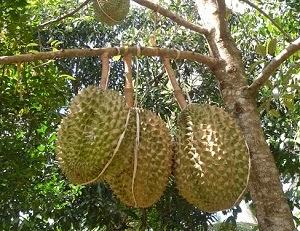 otensi budidaya durian bawor