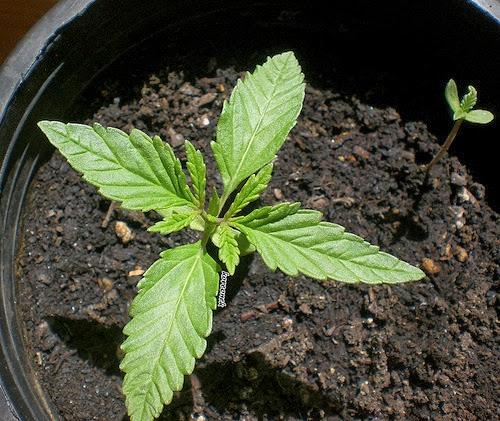 Como plantar semillas de marihuana c 243 mo plantar la - Como plantar marihuana en casa paso a paso ...