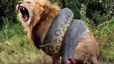 anaconda versus lion