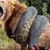 Animal Face-off: Lion versus Anaconda